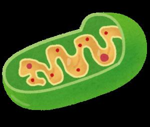 saibou_mitochondria
